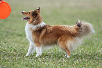 Beautiful Sheltie looking to his frisbee