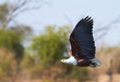 Flying Fish Eagle