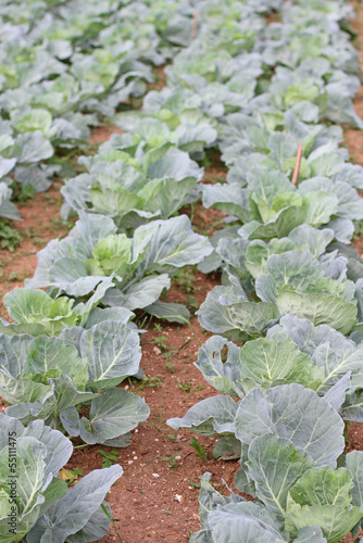 cabbage plants are maturing in a vegetable garden in the country