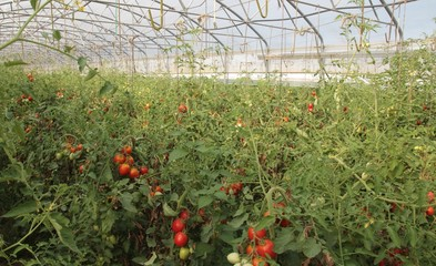 greenhouse for the cultivation of cluster tomatoes and cherry to