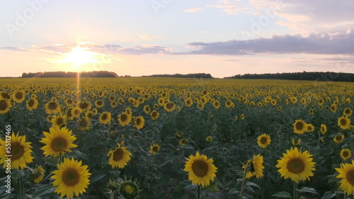 Field with sunflowers at sunset. Clouds Time Lapse.