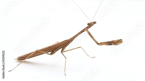 A brown praying mantis