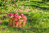MacIntosh Apples in the orchard