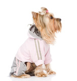 Yorkshire Terrier dressed in a tracksuit. isolated on white