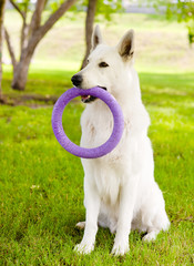 Purebred White Swiss Shepherd  playing toy puller