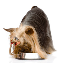 Yorkshire Terrier  eating food from dish. isolated on white