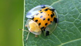 Lady bug on green leaves.