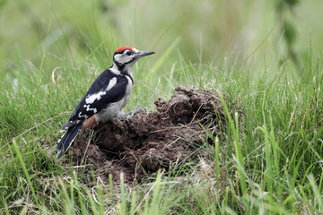 Great-spotted woodpecker, Dendrocopos major juvenile
