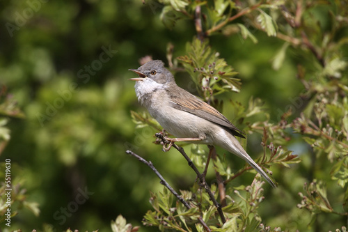 Common whitethroat, Sylvia communis