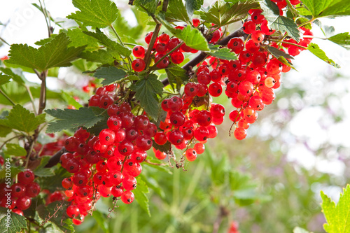 Branch with berries of red currant