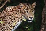 Portrait of an Sri Lankan Leopard, Yala, Sri Lanka - Fine Art prints