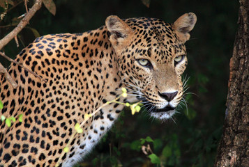 Portrait of an Sri Lankan Leopard, Yala, Sri Lanka