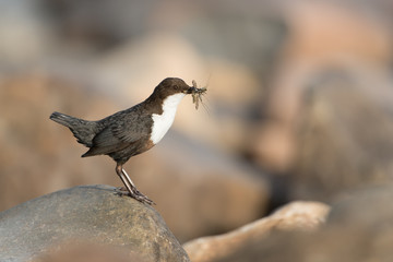 Eurasische Wasseramsel, White-throated Dipper, Cinclus cinclus
