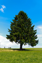 Einsamer Baum, Tannenbaum