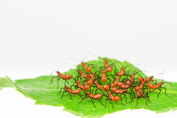 Red assassin bug nymphs  in defensive cluster