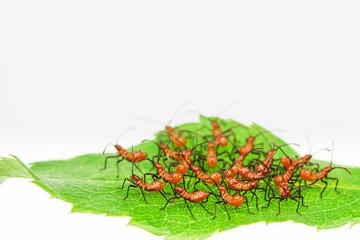Red assassin bug nymphs  in defensive cluster