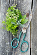 fresh herbs and scissors