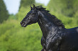 Black horse runs gallop in summer, portrait in motion