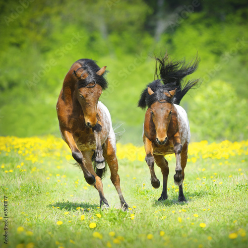 Two little appaloosa foals plaing on the meadow
