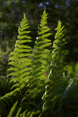 Fern in the forest,