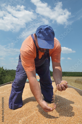 Wheat harvest, farmer at tractor trailer pouring crop