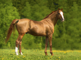 Portrait of the golden Don horse in summer