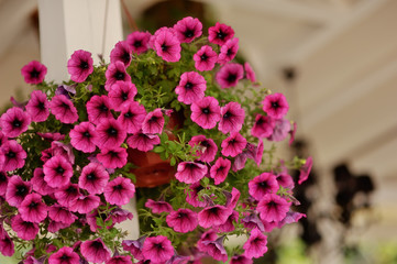 on a white pole weighs a pot of bright pink petunias