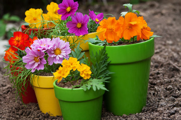 colorful flowers in pots