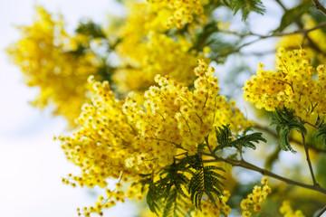 Blossoming spring Acacia