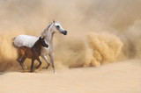Arabian Mare and foal galloping in desert - 55149455