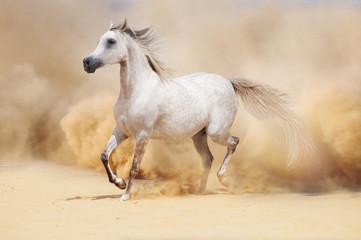 arab stallion in desert