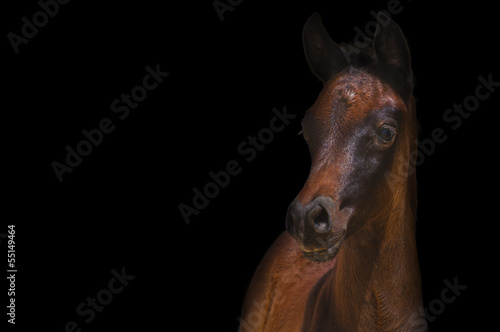 Arabian foal on a black background