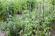 Cultivation tomato and raspberries
