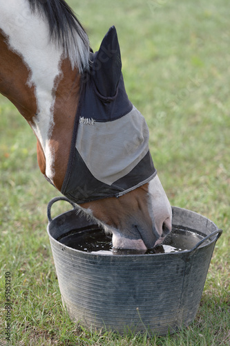Skewbald Horse in a Fly Mask, Drinking Water