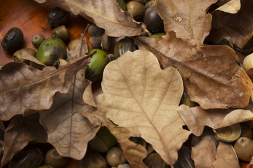 autumn oak leaves and acorns