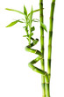 bamboo - three stalks
