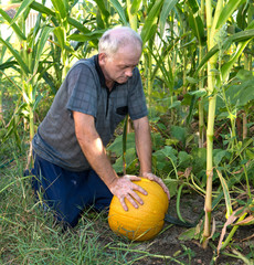 Farmer picking yellow pumpkin