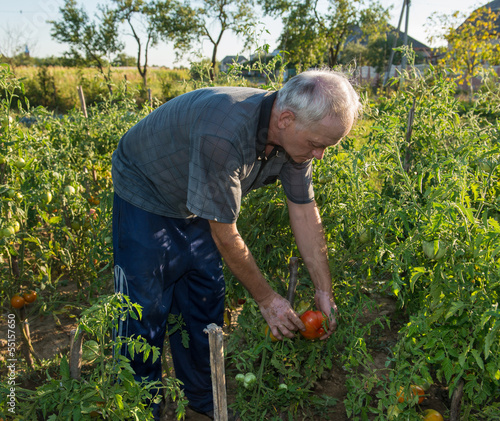Man picking tomatoes in his garden