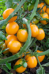 Orange tomatoes growing on branch