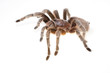 Chilean Rose Spider - 55163666