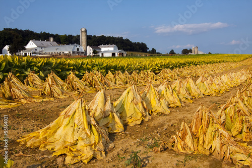 Tobacco Harvest in Pennsylvania