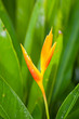 Bird of Paradise flower (Strelitzia Ait.) is blooming