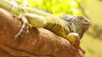 Lizard/iguana in the forest