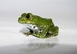 big-eyed tree frog (16) leptopelis vermiculatus, focus is on the