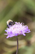 Bee on flower blossom
