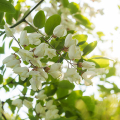 Flowering Black Locust tree