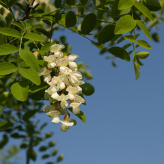 Flowering Black Locust tree