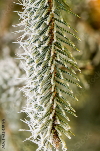hoarfrost on pine branch