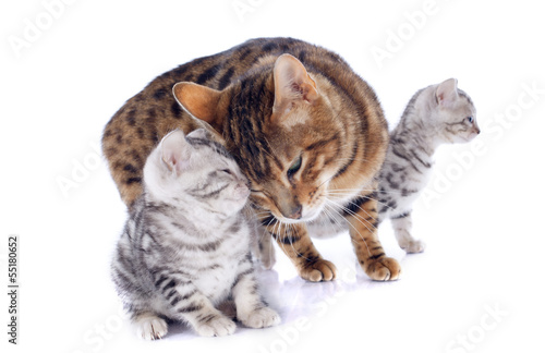 bengal cats and tenderness