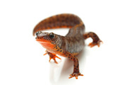Carpathian newt (Lissotriton montandoni) on white